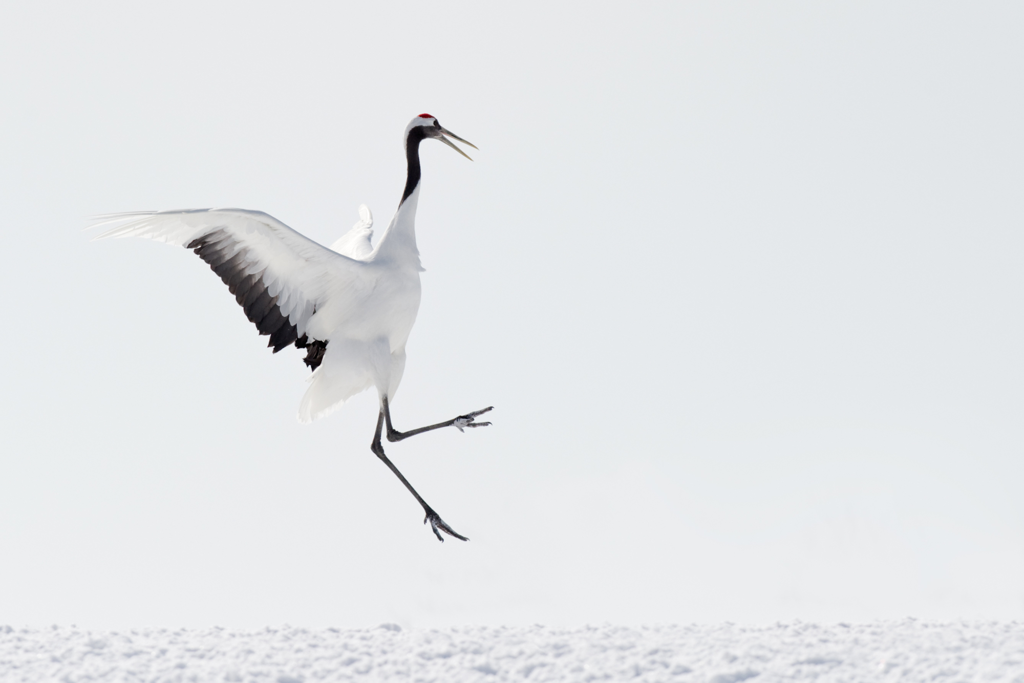 Red-crowned Crane playing and jumping.